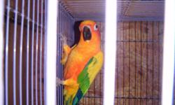 Sadly I must sell my sun conture, was told he's a male, he's semi tame, he accepts food from my hand and gets on my shoulder, has a tendency to bite fingers though, I've only had him a couple of weeks, but his yelling hurts my husbands ears, we are an