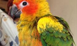 """I have a baby Sun Conure for sale. He is very friendly and loves to cuddle. He comes with the famous """"Aviator bird harness"""" so you can take him out in nice weather without him flying away. He was born December/21/2014. Serious inquiries only please. This"""