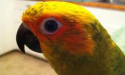 we have just found out we have some suns and black caps conures that have hatched out early .Hand feeding at this time taking deposits.State licnesed breeder and GREAT birds