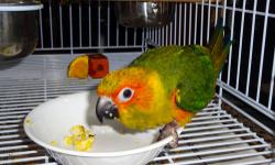 Taking deposits on Sun conure babies we have. They will be hand fed And weaned onto pellets, fruits and veggies. We have a contract that we can send through the mail or look on my page and you will see it and you can print it, for anyone that is