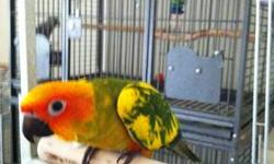 3 SUN CONURE babies left. Hand-fed and very tame. 12 weeks old. They are 275.00 each firm. I will not answer emails or texts due to spam. Please call 262-nine six zero-2107 to come see them. Again, no emails or texts please. Pictures are current and are