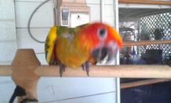 UPDATE 7/6/2013: Only 1 Sun Conure is available. DNA has been sent in and will have results in a week or so. Super sweet. UPDTE: DNA is in and the oldest two are males (BOTH ARE SOLD) UPDATE: One male is sold and 1 is available. I have 2 others that will