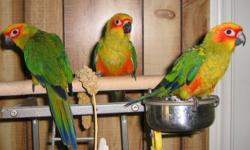 Beautiful hand fed Sun Conures. Extremely friendly, fully weaned. Comes with seed, cuddle bone, millets and hatch certificate. New 24 inch cage available at extra cost