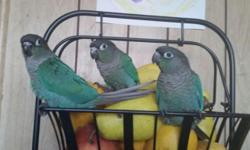 Baby sun conure ready.handfed and weaned on pellets and veggies.