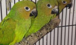 Not hand friendly .. Young, very healthy 1.. Male ((high yellow))sun conure $225 semi tame Pair of brown troat conure $400 7months old 1 blue crown conure .. $350 male 1 pair of blue crown conure very bonded 2yrs old $600 3473519697