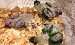 I have 3 baby sun conure that are being hand fed three times a day. The are leg banded with their own identification number. The ones in the pictures are the ones available. If interested email call or text 305-803-5008 This ad was posted with the eBay