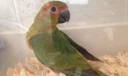 I have a sun conure that's starting to eat seeds and is being being hand feed 2 times a day. If you don't know how to hand fed, I will show you. The baby is leg banded with its own unique identification number. If interested email, call or text