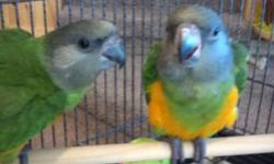 1 Sun Conure Available, still weaning, a deposit will hold the baby for you. www.susansparrotplace.com V/MC/Discover Accepted