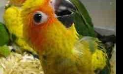 Please email with any questions. If you are serious, please leave me a number so I can call you or i text ( i working) 6193666992. Jc 3 baby's sun conures 13weeks old $250 dll they feed on their own it ready to go to new home very tamed, cuddly, little