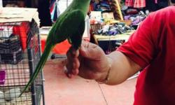 For sale sun conure and indian ringneck babies also i have Lovebirds cockatiels babies Im at the tropicana flea market 36 st and 30 ave miami Feel free to contact me at (305) 345-8294