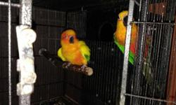 Have a Proven Female Sun Conure she is 10-12 yrs of age, and her mate is a Male Jenday, he is 3 yrs old. He was a pet. Looking for a good home for the pair. They go together. They are on seed's, zupreem, fresh fruits, vegetables, pasta, lentils, oats.