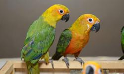 We have sun conures & jenday conures available. All being hand fed now but taking $100 deposit to hold one. We can dna for $25 and we can ship for $125 We have some Jenday Conures weaned and ready for new homes! So sweet and always playful! Any questions