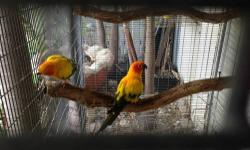 Sun conure pairs for sale. They are proven pairs and have 2 pairs left to sell. Selling each pair for 475.00. If you want a pair with their cage and nest its 525.00. If interested email or call 305-803-5008. This ad was posted with the eBay Classifieds