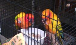 A male sun conure 2 years old for rehome He is beautiful & lovely Sami tame & very Healthy He love to eat from my hand He doesn't like to be handle but if you work with him he will He not come with cage Price is $225 firm, not go any lower Call only when