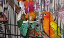 Sun Conure Parrot. Beautiful bird, healthy and very sweet. Selling because of my health. Can't take care of him anymore & he deserves a good home. He comes with his cage, a 5ft. playstand and several small miscellaneous items. Needs to go to someone with