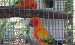 male sun conure missing 1 leg. flys gets around on other 4 years old not tame 35 may trade