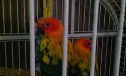 Looking to rehome my sun conures. (Everything included)Very hand friendly, tame, hilarious personalities. Email me or text at 513-202-4602 for more info. I can text pictures upon request. The cage is about 6ft tall and 4ft wide, It's huge and spacious.