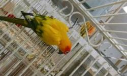 two adult male {dna tested} sun conures, breeding birds, 4-5 years old. have been used in the past with good results. 300.00 each.