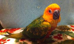 We have some beautiful baby sun conures that are still being hand fed available. $350 each baby with a $100 deposit. Should be weaned in about 2-4 weeks. Location Kunkletown PA 18058. Please contact Carol or myself with any questions.