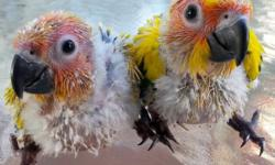 I have two Beautiful Sun Conures Baby, Hight Yellow Color. Currently been handfed 3 times a day and must be on formula for the next few 3 or 4 weeks. He will need to still be given formula during weaning process until they gradually get off formula.