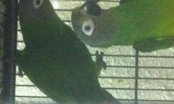 These birds are beautiful but a noisy conure. A good family bird. I am a liscensed breeder with a permit to sell birds in the state of Florida. I do ship at owners expense. It costs $190. (plane ticket Delta $168+ Carrier+ 2 SS bowls+ Perch+modifications