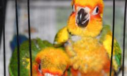 Have 2 Suns conures hand feeding now that will be ready in July and one older girl that is just now ready. She has been DNA sexed; the younger 2 have not been yet. Will do for the $20 fee it costs me to submit DNA. . Will be hand fed and tame to become a