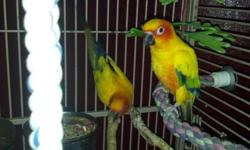 Hello we will be pulling to hand feed Two sun conures The parents are very red. So both of the babies should be too. Will be taking the 50% deposit to hold till weaned They will not last long. Will send pictures