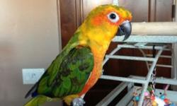 """Friendly, loving, talks a little. Male """"Sunday"""" conure (1/2 Sun 1/2 Jenday). He just wants to be with you and snuggle. I'll only consider homes where he'll be well taken care of and loved."""