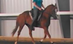 Adorable 9yr old, 14h pony mare for sale. Nice ground manners, loads, lunges, long lines, and ground drives. Has been out on the trails, not spooky. Would be a fun pony club or 4-H mount for a teen or experienced child rider, but big enough for a small