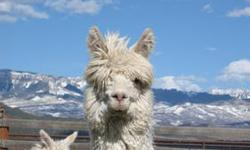 Beautiful Suri Alpaca Fiber Males (16)....many colors and all ages. Some castrated and some not. No registrations provided for these fine male fiber producers. Our ranch is one of the premier Suri Ranches in the country winning dozens of shows and fiber