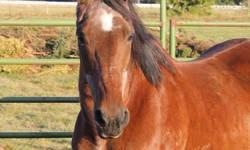 Wonderful older morgan gelding is looking for a new home. Super fun to ride and very sound. Nice walk, jog, canter. UTD on vaccines, dental, de-worming, and hoofcare. Has wonderful strong feet, no need for shoes. Needs advanced beginner or intermediate