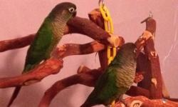 Sweet Handfed Normal green cheek conure baby weaned and ready to go home.$165.00. Please call 702-812-1108 located Whitewater Colorado. Please take a look at my website Http://ninasparrots.com Thank you Nina's Parrots