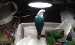 Sweet Handfed Normal green cheek conure babys weaned and ready to go home.$165.00. Turquoise green cheek conure baby's $300 each. High red yellowsided green cheek conure baby' s $250.00 Thank you Please call 702-812-1108 located Whitewater Colorado.