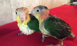 We are currently hand-feeding 2 White Bellied Caiques, will be well socialized and sweet. Will wean to a healthy and varied diet. One baby is on hold and we still have one available. $200 deposit will hold till weaned.