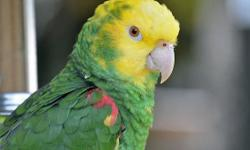 Beautiful Blue-Fronted Amazon and Double Yellow Amazon Parrot We have been handfed are tame and talking. We love to sing and dance. We have been taught songs and if you sing them we will love you even more and sing right back. We love to dance, be held,