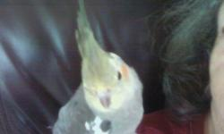 I need to rehome my male cockatiel that I recently purchased. He is 4 to 5 months old. I bought him in May when I was home a lot and had time to spend on him. Since then, my situation has changed and he sits alone quite a bit. My parents are now keeping