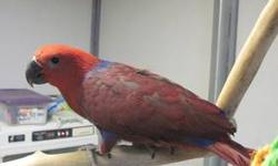 We have 1 female SI Eclectus baby weaned and ready to go. She readily steps up, likes to cuddle, is very social and outgoing, and loves to play on her toys. She is a great eater and loves fresh foods. She was hatched 10/17/12 and is ready to go to her new