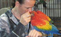 This is our last macaw baby from last season! She is SO sweet and cuddly, she loves to snuggle and give kisses, she is playful and outgoing and lovs her toys, and she is already talking clearly! She has amazing color with the nice big yellow band. She was