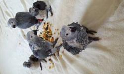 I have Sweet hand feed baby Cockatiels, With more coming Soon, All babies are banded, these are pets I spend One on one with them. I'm a small breeder. If interested please call or text 318-453-4064