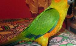 Pick Up in East Stroudsburg,PA.This little male Sun Conure is 14 weeks old and ready for his new home.He is 300.00. He is hand tame and comes with his DNA certificate.