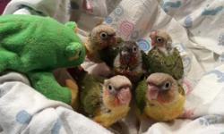 We are accepting deposits on baby pineapple conures. Very sweet little ones!