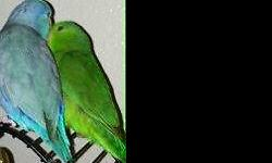 I will have several parrotlet babies available in October - including blues, dilute blues, turquoises, and dilute turquoises. All of my birds are hand fed and socialized in our living room. I am a small hobby breeder, and I enjoy sharing these birds with