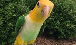 Handfed , 11 month old, sweet , playful Caique ! Doesn't bite, loves to be out and held, starting to talk and whistle :-) Bird only, no cage. Veggie , fruit and seed diet. Please call with questions. Not sure is she is female or male. text or call .....