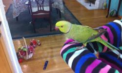 I have a friend who is going out of county and can't take him with her. His name is Mango, he is a sweet hart, he dons not bite and can learn to talk, male ringnecks are known to be a very good talkers! can't keep him, have too many birds, with not so