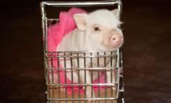 What is a Teacup Pig? At birth miniature pigs weight 6 oz to 11 oz. Making them small enough to fit into a Teacup. Miniature pigs are called many names ( Teacup Pigs, Pocket Pigs, Micro Mini Pigs, Dwarf pigs, etc..) These however are not different breeds