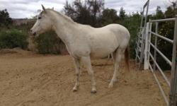 Grey Paint cross 4 yr, 16 hands, Gelding for sale. He is UTD on all shot, vet, farrier and wormed. This Gelding has been used for Trail riding, Barrel racing, Gymkhana, Team Penning and more. He loads in a trailer, stands for the Vet & Shoer and walks