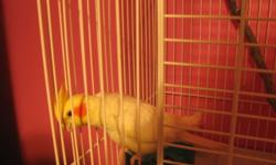 i have 2 cockatiel birds male and female ...male is a solid white and female is a grey pied they have 2 cages and breeding box for breeding they belong to my grand daughter and she is asking 125.00 for everything...270-547-5003