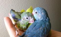 I have several super-sweet parrotlets that will be looking for homes in the coming months. I breed greens, blues, dilutes, dilute blues, pieds, fallows, and fallow pieds. Each of my birds are hand fed and socialized in my living room. They are step up