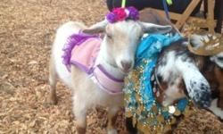 Dwarf goat male 6 months old tan & white Been dehorned & fixed. I am selling him a a pet only. He walks on a leash and has been dressed up for renaissance fair. Loves people used in my petting corral. 760-788-3780
