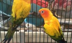 Sweet hand fed sun conures! Reserve now for only $275! Add your name to the reserves list! Should be Born in te next 2-3 weeks! Reserve today! Going fast! Last picture is pregnant female This ad was posted with the eBay Classifieds mobile app.
